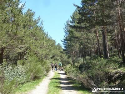 El pinar del Puerto de Navafría;tejo arbol;rutas por la sierra de madrid;la panera el espinar